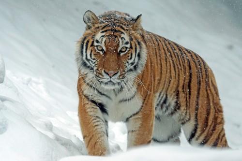 Новый год - тигр