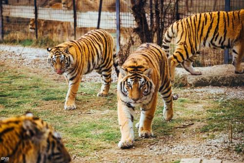 Экскурсия в парк львов Тайган